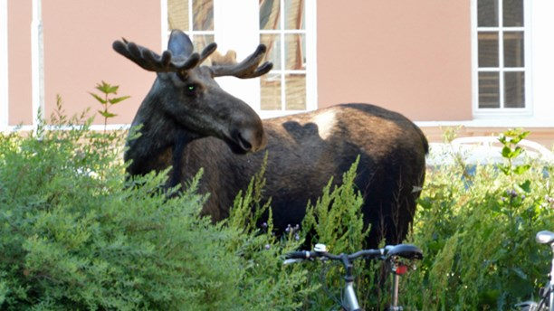 A different elk spotted earlier this month in the town of Eskilstuna. (Laura Wihlborg/Sveriges Radio)