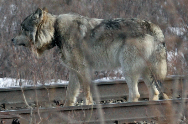 Debate January 2020 >> Falling wolf numbers at Alaska's Denali Park revive debate