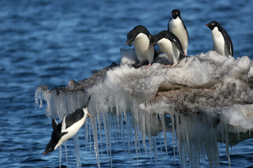 Penguins diving in Antarctica. Any chance of seeing a similar scene in Sweden? (iStock)