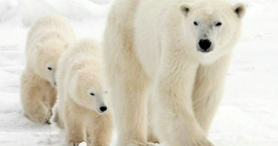A group of polar bear experts have come up with some new ideas on how to save the animal should climate change threaten its survival. (The Canadian Press)