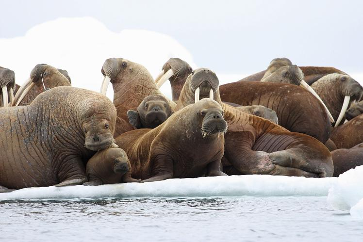 Adult female walruses on an ice floe with their young in the U.S. waters of the Eastern Chukchi Sea in Alaska. (S.A. Sonsthagen, U.S. Geological Survey/AP )