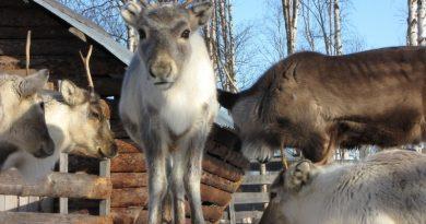 A reindeer calf in Sweden's Arctic Lapland region. (iStock)