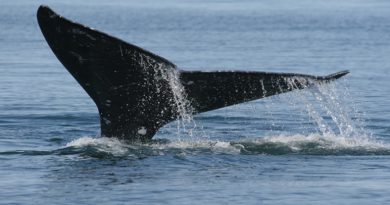 Gray whale. Photo: NOAA. Alaska Dispatch.