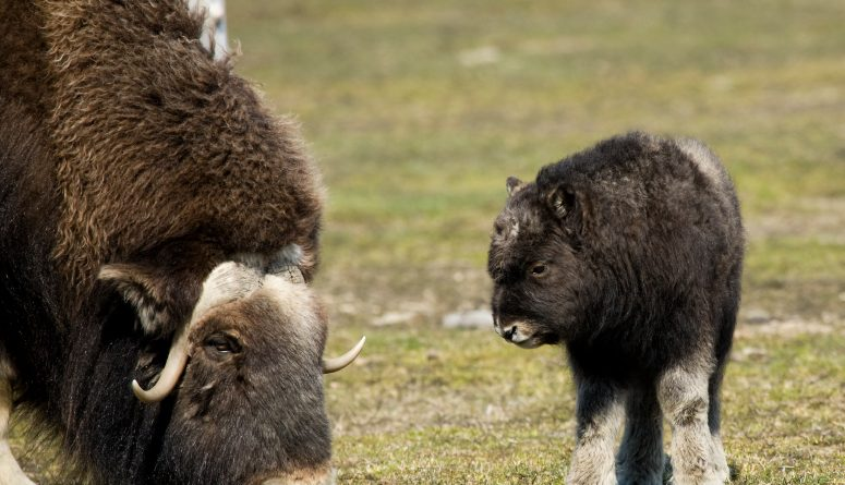 A musk ox and baby in Alaska. (iStock)