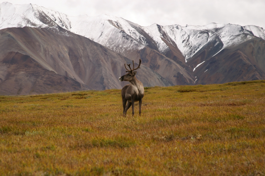 An animal from the porcupine caribou herd in Alaska. (iStock)