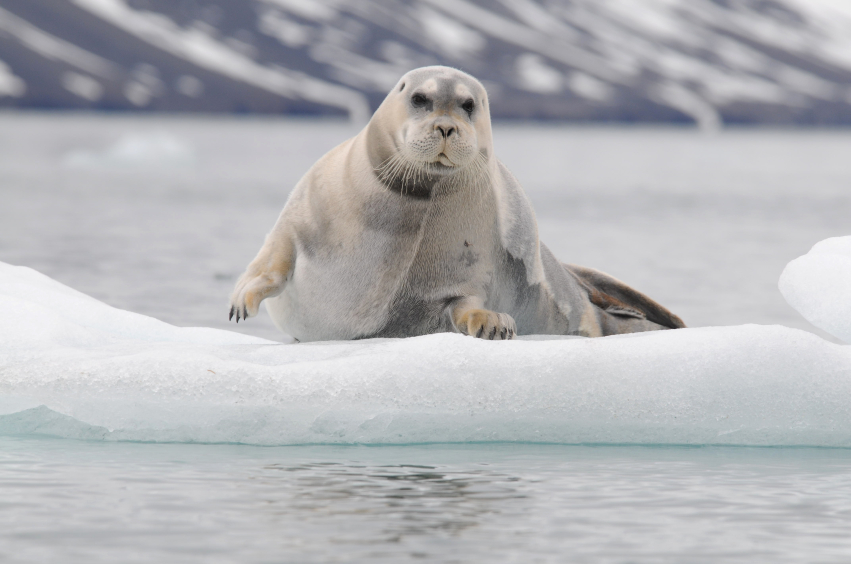Bearded seals  have a penchant for floating alone on pieces of drifting Arctic sea ice. (iStock)