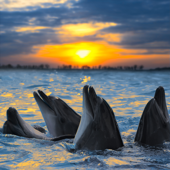 Bottle-nosed dolphins in sunset light in an unidentified location. Recently dolphins unexpected showed up on Sweden's west coast. (iStock)