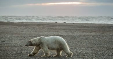 A polar bear walks along the beach in Kaktovik at sunset on September 7, 2012. A recent study that examined the accuracy of counting polar bears by helicopter versus satellite tracking of the bears found that each method resulted in similar counts of the notoriously difficult-to-pin-down populations. (Loren Holmes / Alaska Dispatch)
