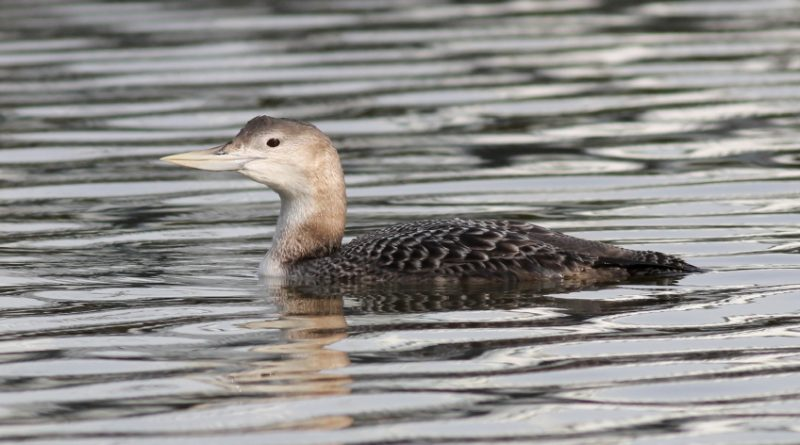 Yellow-billed Loon. (iStock)