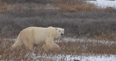 Polar bears wandering the shores of Hudson Bay near Churchill, Manitoba, Canada waiting for the sea ice to return. The situation becomes dangerous for people as bears come closer to settlements. Photo: A.E. Derocher, University of Alberta