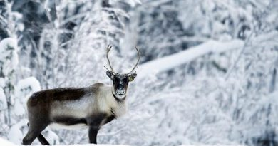 A reindeer eats salt on a road on December 20, 2010 near the village of Vuollerim, Lapland province, in nothern Sweden.