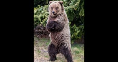 A brown bear stands on it