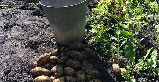 Potatoes are rotting in the ground in many places. (Gustaf Klarin/Sveriges Radio)