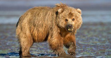 A brown bear in the wild in Alaska. (iStock)