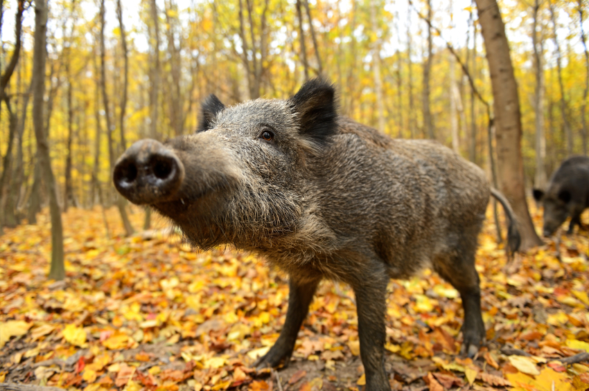 Wild boars are among the animals targeted by poachers. (iStock)