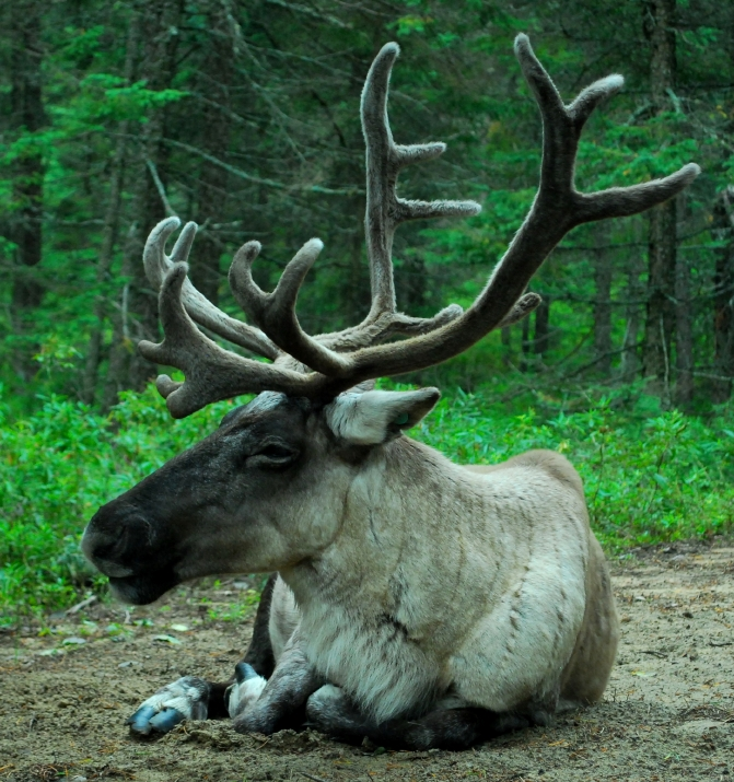 The George River caribou herd has been declining for years. (iStock)