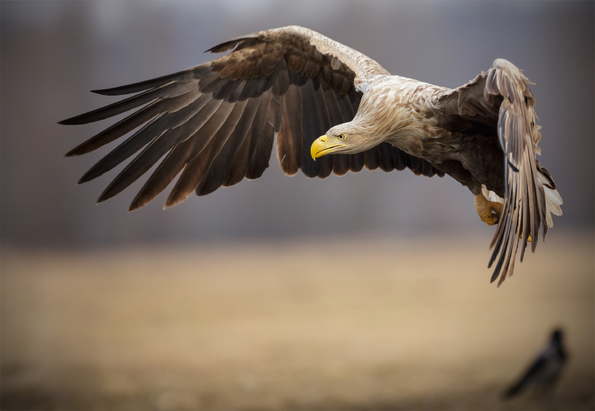 Adult white-tailed sea eagle in flight pre-landing. (iStock)