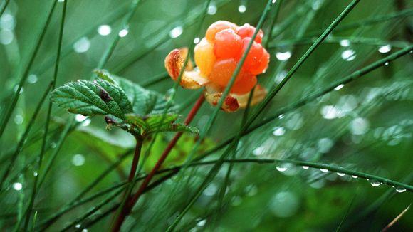 Cloudberries contain ellagitannins that provide protection against cancer. (Pentti Kallinen / Yle)