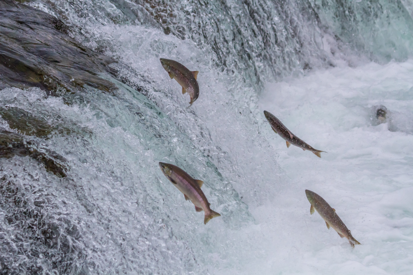 What`s causing all the dead salmon in the Kobuk River? (iStock)