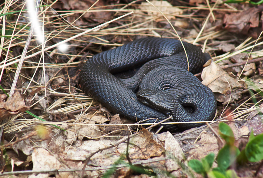 The adder or viper is the only poisonous snake in the Nordic region. (iStock)