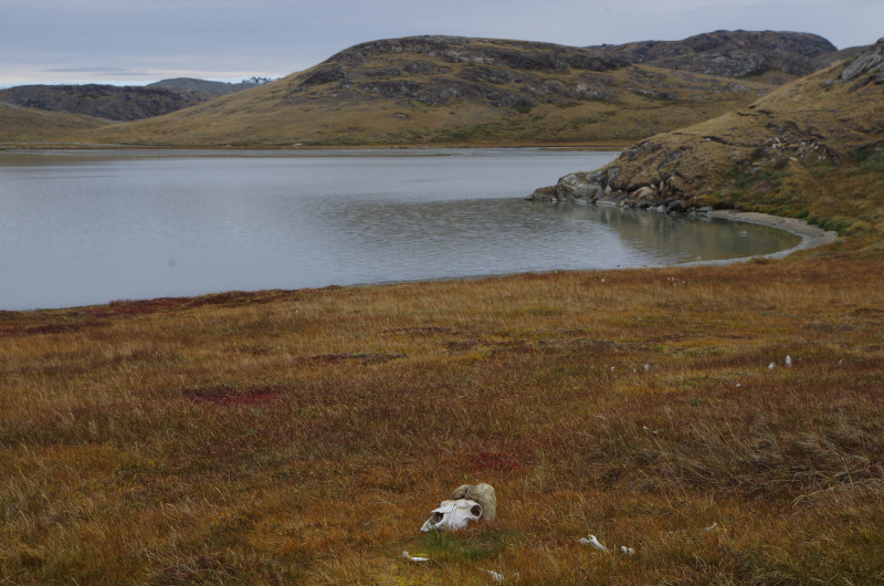 The end of the muskox economy? (Mia Bennett/ August 2014)