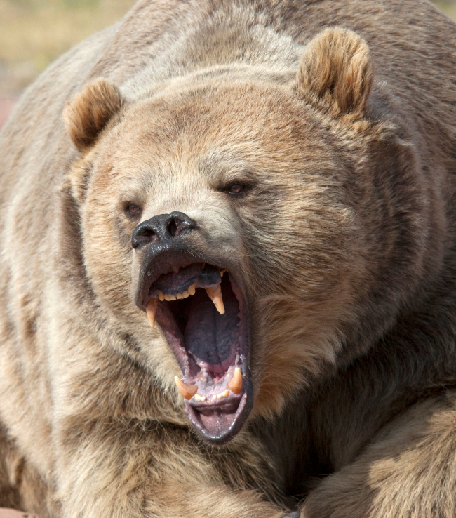 A blast of bear spray allowed an Alaska biologist to escape from a brown bear attack earlier this month. (iStock)