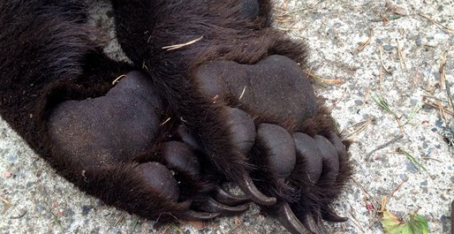 This bear, shot near Ähtäri in early September, had paws measuring 14 centimetres across. (Olli Koski/Yle)