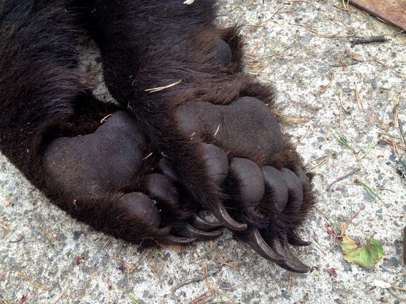 This bear, shot near Ähtäri in early September, had paws measuring 14 centimetres across. (Olli Koski/Yle)