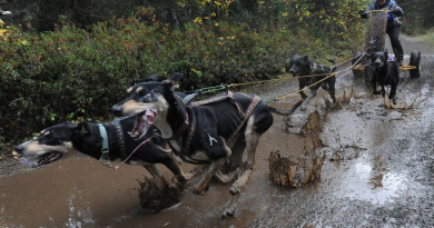 Kim Wells placed 3rd in the 4-Dog Cart race during the Chugiak Dog Mushers Association's 2-mile dryland sled dog races in various classes at Breach Lake Park on Sunday, Sept. 21, 2014. (Bill Roth / Alaska Dispatch News)