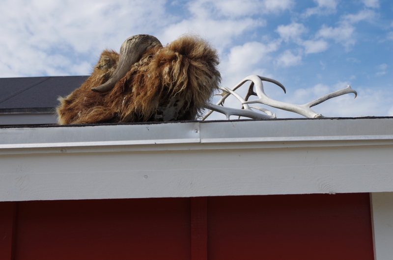 A muskox decorates the roof of a house in Kangerlussuaq. (Mia Bennett/August 2014)