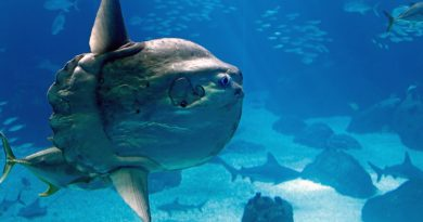 A massive ocean sunfish (like the one pictured above) was spotted in Prince William Sound on Alaska's south coast this month. (iStock)