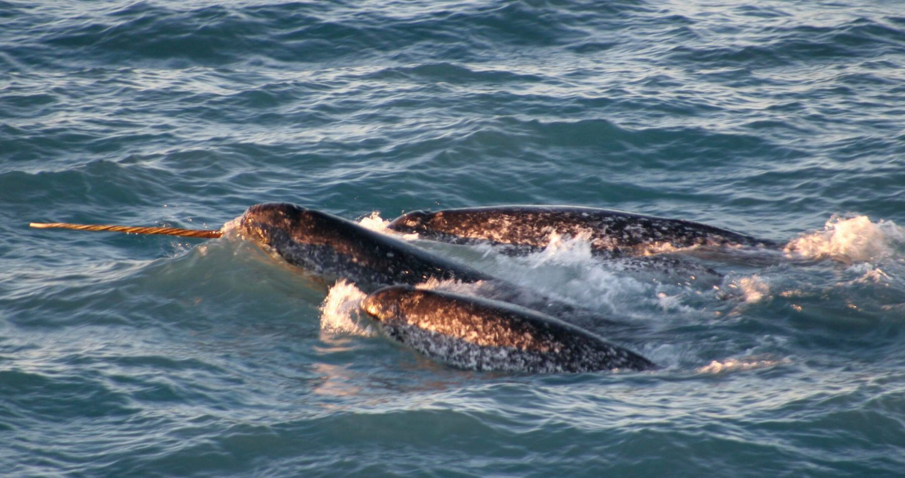 Narwhals pictured above in the Canadian Arctic. Their tusks can sell for several thousand dollars. (Kristin Laidre/NOAA/AP)