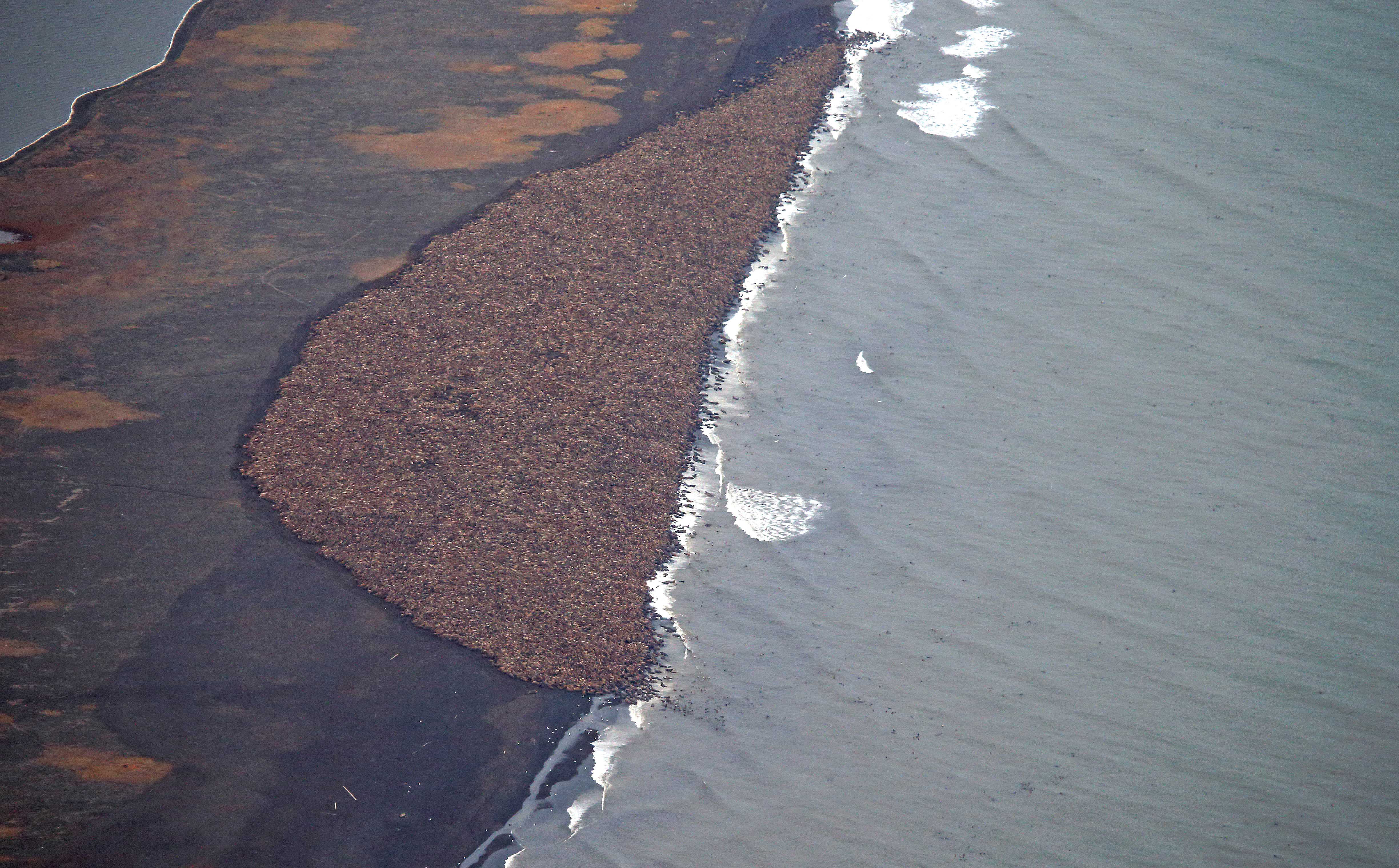 Some 35,000 walrus gather on shore near Point Lay, Alaska on Sept. 27, 2014. The enormous gathering was spotted during NOAA's annual Arctic marine mammal aerial survey. (Corey Accardo / NOAA / AP)