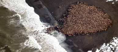 In this aerial photo taken on Sept. 23, 2014 and released by NOAA, some 1500 walrus are gather on the northwest coast of Alaska. Pacific walrus looking for places to rest in the absence of sea ice are coming to shore in record numbers, according to NOAA. (Corey Accardo/ NOAA/AP)