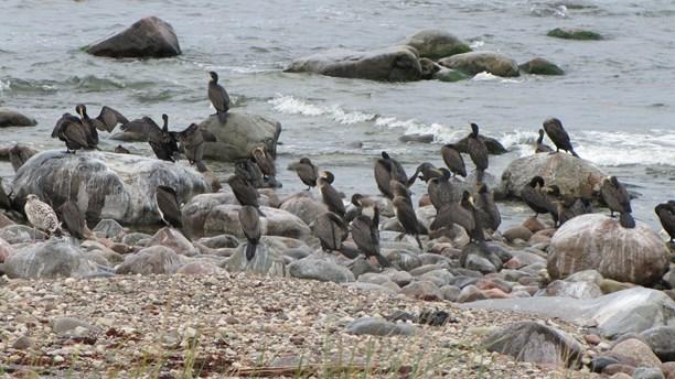 Cormorants close to the shore. (Camilla Körkander/Sveriges Radio)