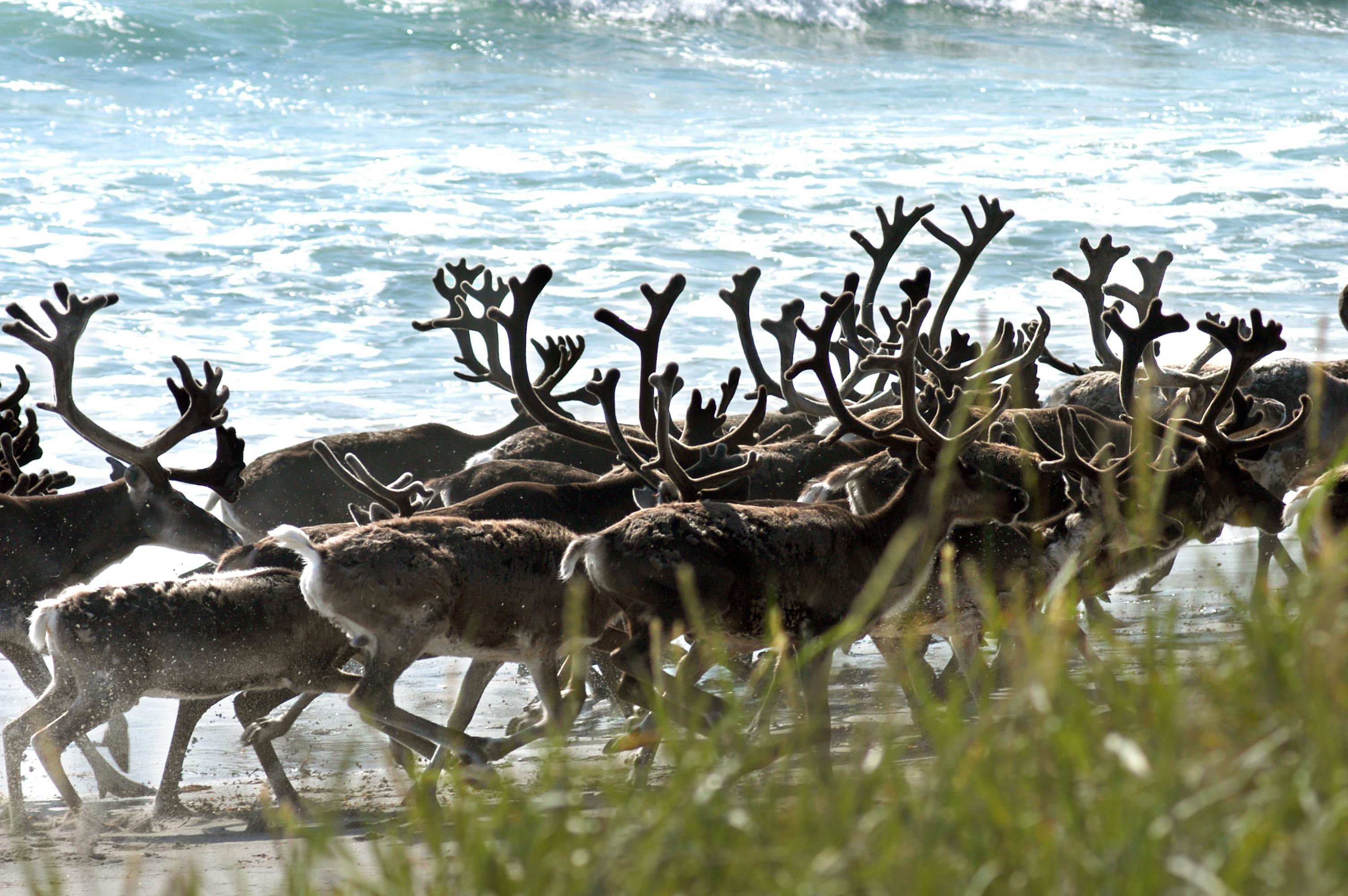 A reindeer herd walks on the beach in Jarfjord, Norway. (Thomas Nilsen/AFP/Getty Images)