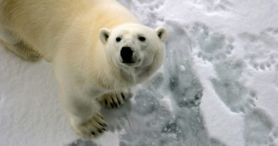 A polar bear pictured on ice in 2011. (iStock)