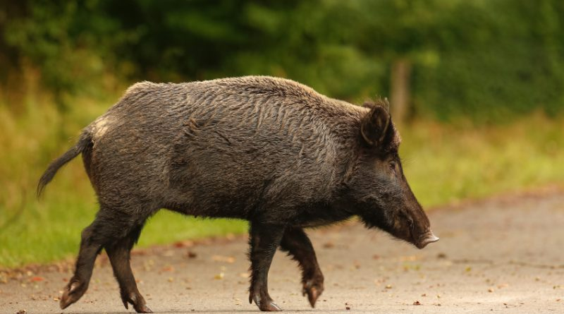 Wild boar populations are on the rise in Sweden. (iStock)