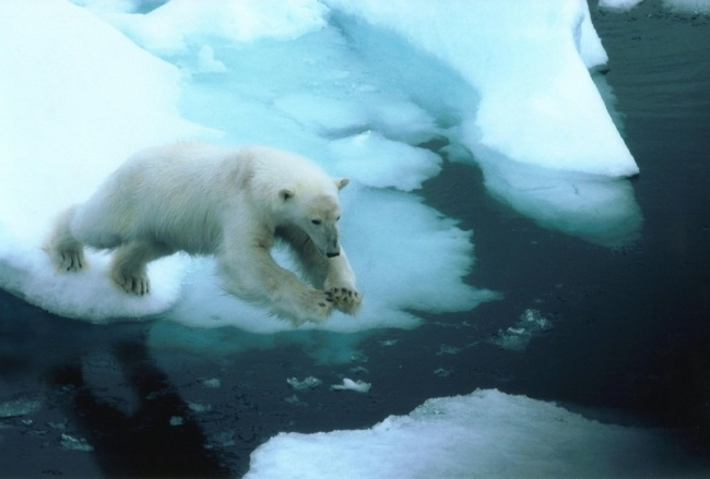 How will Russia's new military bases effect polar bears? (Thomas Nilsen / Barents Observer)