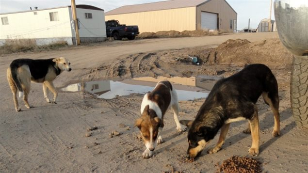 Pets left loose and feral dogs pose health and real safety risk in hundreds of aboriginal reserves and small communities across all of northern regions of Canada. (The Associated Press)