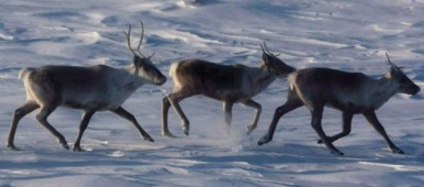 There are many different caribou herds in regions all across Canada, but most are experiencing dramatic declines. While habitat loss and industrial activity are listed as a major concern, increased pressure from hunting in order for meat and fish to be sold online has also become a concern. This was the most retweeted story on Eye on the Arctic this week. (Nathan Denette/Canadian Press)