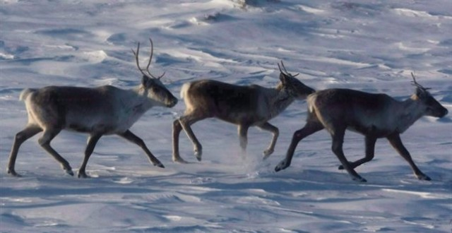 There are many different caribou herds in regions all across Canada, but most are experiencing dramatic declines. While habitat loss and industrial activity are listed as a major concern, increased pressure from hunting in order for meat and fish to be sold online has also become a concern. (Nathan Denette/Canadian Press)
