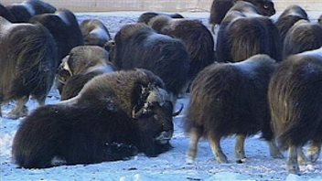 In 2012, an outbreak of erysipelas has killed at least 100 muskox so far on N.W.T.'s Banks Island. (CBC)