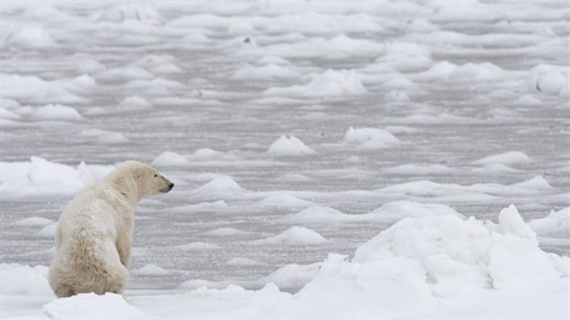 A polar bear looks towards Hudson Bay near Churchill, Manitoba in November 2007. Experts say climate change is slowing the formation of winter ice on Hudson Bay. Measurements show polar bears are getting smaller and lighter on average, than they were in the 1980's. (Jonathan Hayward/The Canadian Press)