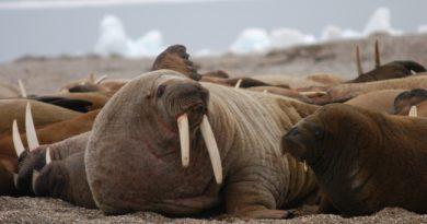 Walruses on Svalbard. (Thomas Nilsen/Barents Observer)