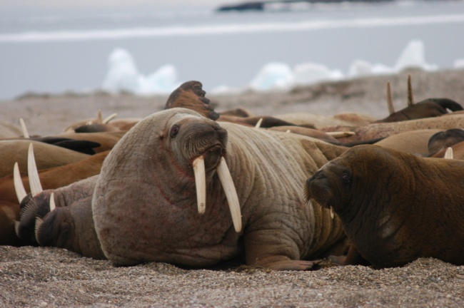 Walruses on Svalbard. (Thomas Nilsen/Barents Observer)