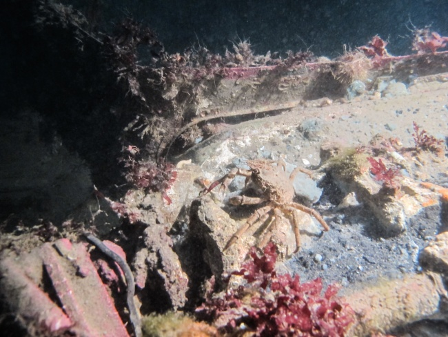 An Arctic lyre crab scuttles amongst the algae covering the plane's fuselage. (Jimmy Thomson/Barents Observer)