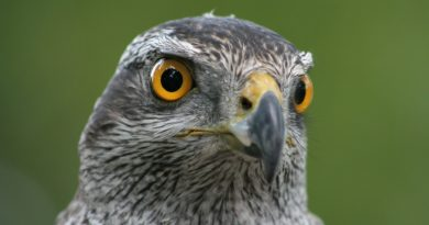 A rescue service, founded by members of the South Karelian Ornithological Society responds to calls from members of the public who discover injured animals. (iStock)