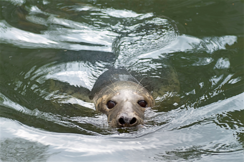Recent figures from the Finnish Game and Fisheries Research Institute estimate that the market value of fish lost to seals is 466,000 euros. (iStock)