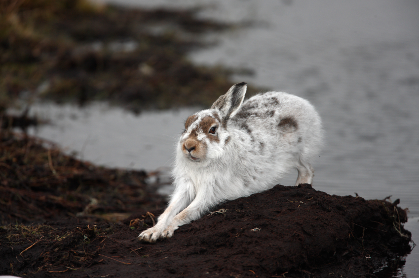A mountain hare, partly in winter fur. (iStock)